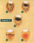 Овоскопирование яиц при инкубации
